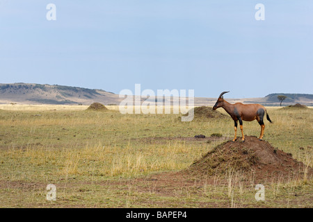 Topi on the look out atop a termite mound in the Masai Mara National Reserve Kenya. - Stock Photo