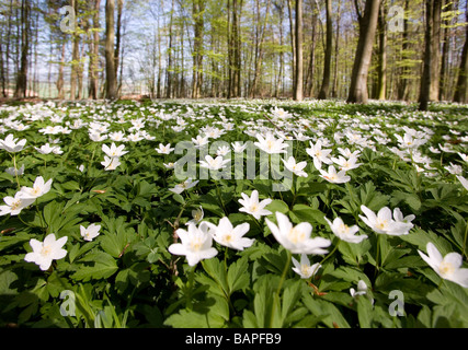 Countless wood anemones (Anemone nemorosa) in a deciduous forest in the spring - Stock Photo