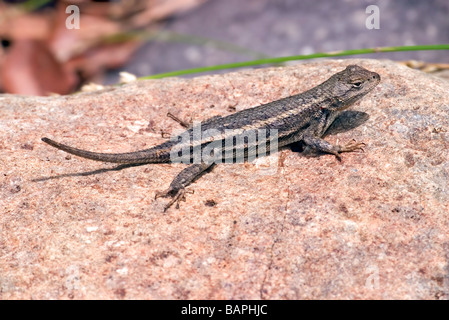 Striped Plateau Lizard Sceloporus virgatus Cave Creek Chiricahua Mountains Arizona United States 14 July Adult - Stock Photo