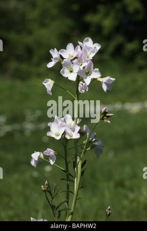 Ladys smock Cuckoo flower Cardamine pratensis Midlands spring - Stock Photo