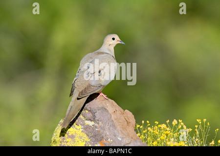 Mourning Dove Zenaida macoura Tucson ARIZONA United States 29 April Adult Columbidae - Stock Photo
