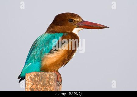 White throated Kingfisher - Stock Photo