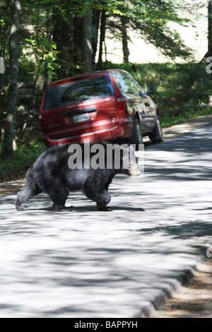 Black bear running across the road full of traffic Cades Cove TN North America USA Stock Photo