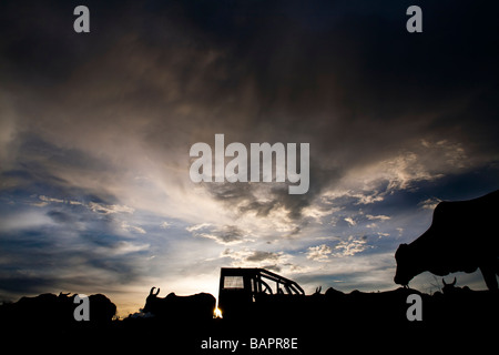 Herd of cattle BR 163 road at South Para State Amazon Brazil - Stock Photo