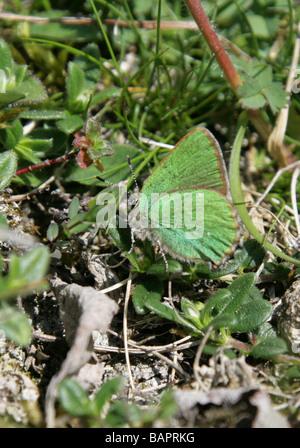 Green Hairstreak Butterfly, Callophrys rubi, Lycaenidae - Stock Photo