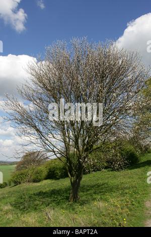 Whitebeam, Sorbus aria var typica, Rosaceae, Chilterns in Spring (April), Hertfordshire, UK - Stock Photo