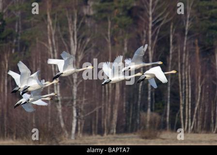 Flock of Tundra Swans Cygnus columbianus in flight - Stock Photo
