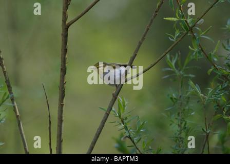 Wood Warbler Phylloscopus sibilatrix - Stock Photo