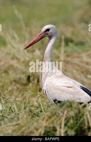 A portrait of White Stork Ciconia ciconia - Stock Photo