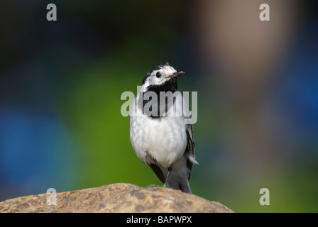 White Wagtail Motacilla alba alba standing on a rock - Stock Photo