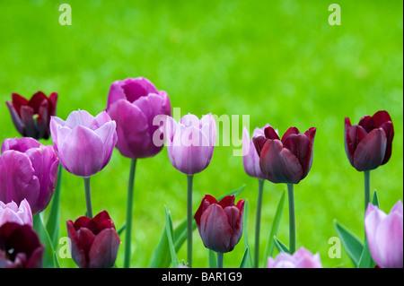 Tulip triumph 'ronaldo' 'purple prince' 'violet beauty' single late flowers at Keukenhof gardens, Lisse, Amsterdam, - Stock Photo