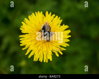 Bee sitting on dandelion flower top view pollen visible Oteppe Belgium - Stock Photo