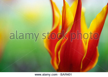 Tulipa. Lilly flowered Tulip 'Synaeda king' at Keukenhof gardens, Amsterdam, Holland. Abstract - Stock Photo
