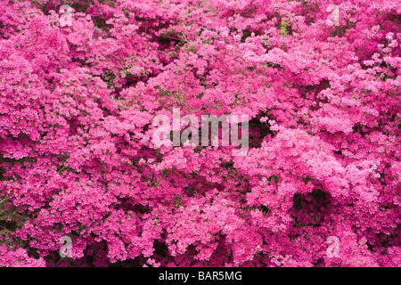 Azalea, (Rhododendron 'Amoenum'). UK garden. - Stock Photo