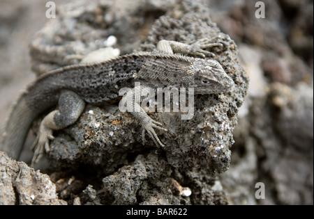 Lava Lizard, Microlophus albemarlensis, Tropiduridae, Punta Espinoza, Fernandina Island, Galapagos Islands, Ecuador - Stock Photo