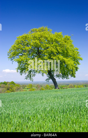 Lone beech tree in farm field. North Downs at Clandon, Surrey, UK. - Stock Photo