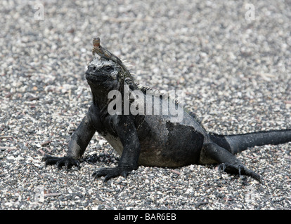 Lava Lizard (Microlophus albemarlensis) Using a Marine Iguana (Amblyrhynchus cristatus) as a Lookout Post, Fernandina, - Stock Photo