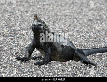 Lava Lizard (Microlophus albemarlensis) Using a Marine Iguana (Amblyrhynchus cristatus) as a Lookout Post, Fernandina, - Stock Photo