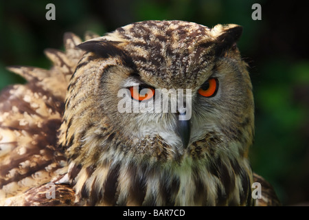 Close up portrait of an Owl in front of a dark forest - Stock Photo