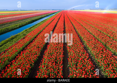 Dutch Tulip fields, tulips in rows near Alkmaar, Holland, with canal and water sprinkler for irrigation. Netherlands - Stock Photo