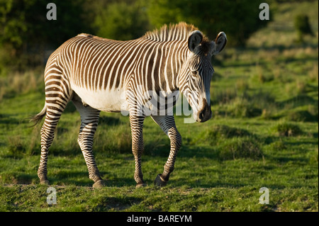 Grévy's zebra (Equus grevyi) Captive, UK - Stock Photo