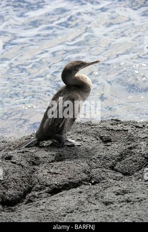 Flightless Cormorant aka Galapagos Cormorant, Phalacrocorax harrisi, Punta Espinoza, Fernandina (Narborough) Island, - Stock Photo