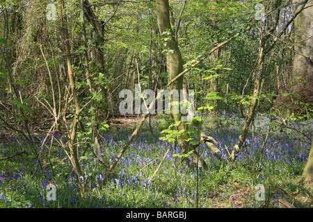 Bluebells growing in Shoreham woods, Kent - Stock Photo