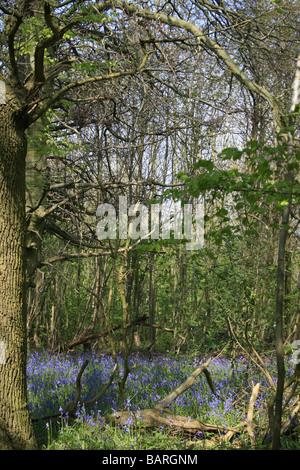 Bluebells in Shoreham woods - Stock Photo