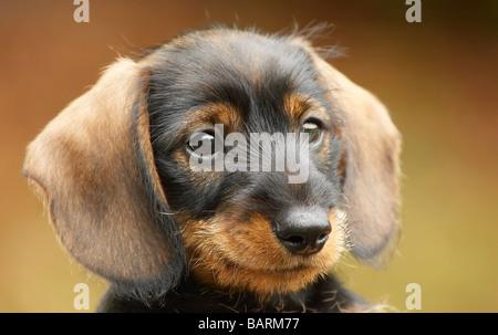 Cute little dachshund puppy - Stock Photo