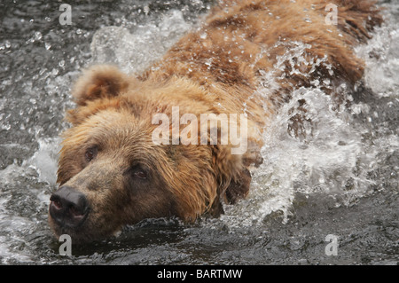 A close up of a bear swimming in water - Stock Photo