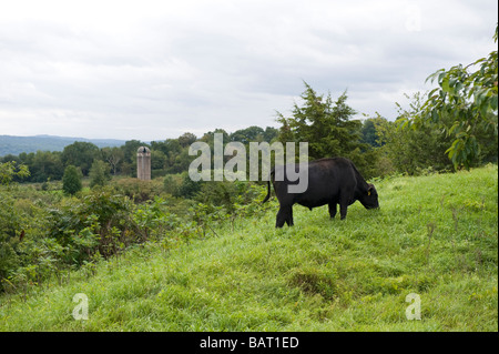 A black Angus cow grazing on a field on a free-range farm in Upstate New York. - Stock Photo