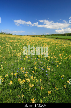 A meadow of cowslips in Norfolk under a pretty blue sky. - Stock Photo