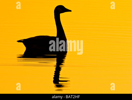 A lone Canada goose swims in early morning golden water. - Stock Photo