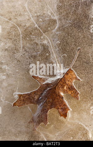 A leaf frozen in pond ice - Stock Photo
