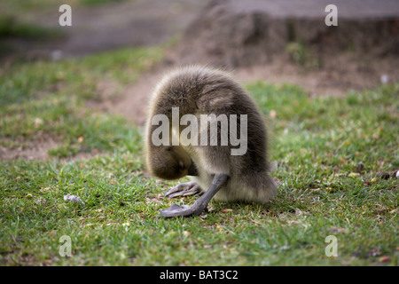 A greylag gosling cleaning its stomach by the banks of the river Ouse in York - Stock Photo