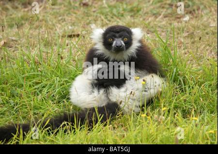 Black and White Ruffed Lemur Varecia variegata Orana Wildlife Park Christchurch South Island New Zealand - Stock Photo