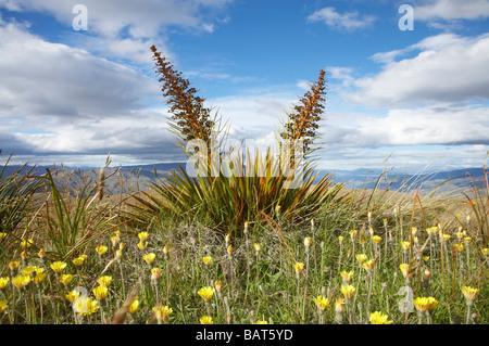 Speargrass or Golden Spaniard Flower Aciphylla aurea Carrick Range Central Otago South Island New Zealand - Stock Photo