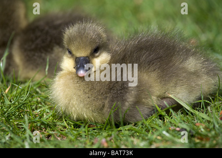 Greylag gosling by the banks of the river Ouse in York - Stock Photo
