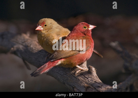 Red-billed Firefinch pair 'Lagonosticta senegala' - Stock Photo