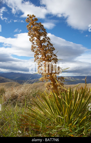 Speargrass or Golden Spaniard Flower Aciphylla aurea Carrick Range Central Otago South Island New Zealand - Stock Photo