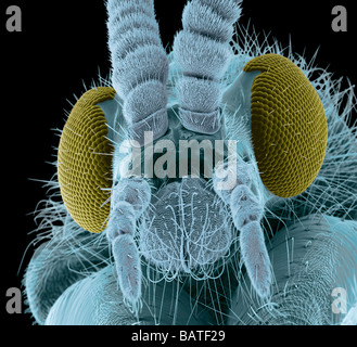 Fly head, coloured scanning electron micrograph. Close-up of head of a fly, showing itsshort antennae, between compound - Stock Photo