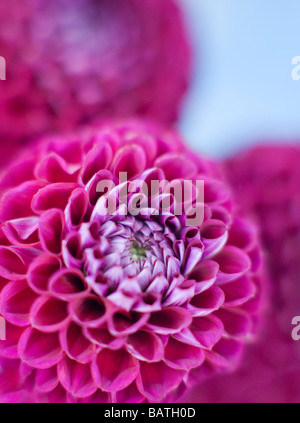 Dahlia flowers (Dahlia sp.). - Stock Photo