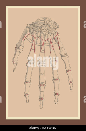 Bones of the Upper Row - Stock Photo