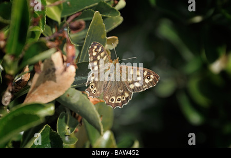 Speckled wood butterfly - Stock Photo
