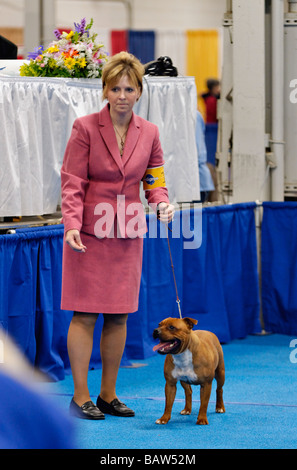 American Staffordshire Terrier being Shown in the Show Ring at the Louisville Dog Show in Louisville Kentucky - Stock Photo