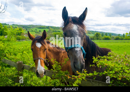 Turville heads of gray & brown horses with bridles fields pasture paddock looking into camera with Chiltern Hills - Stock Photo