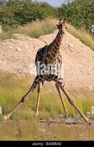 Giraffe about to drink, Etosha National Park, Namibia - Stock Photo