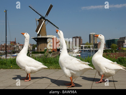 Schiedam part of Rotterdam, harbour and windmill and three geese - Stock Photo