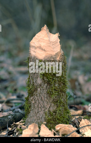 Gnawed stump of a tree cut down by a beaver - Stock Photo