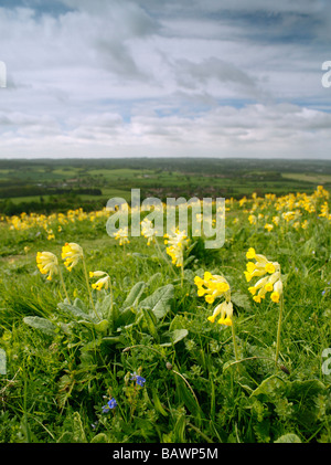 Cowslip Primula veris on the North Downs, overlooking Sevenoaks, Kent, England, UK. - Stock Photo